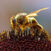 Thumbnail image for Kid Questions: How do Bees Carry Pollen?