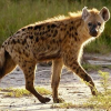 Thumbnail image for Spotted Hyaenas have it tough