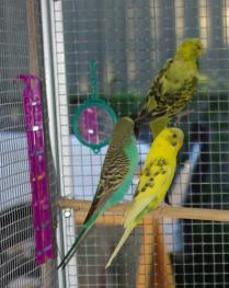 Post image for Our New Budgies