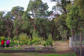 Gum Trees or Eucalypts