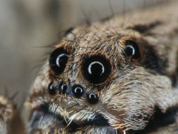 Spider with 8 eyes