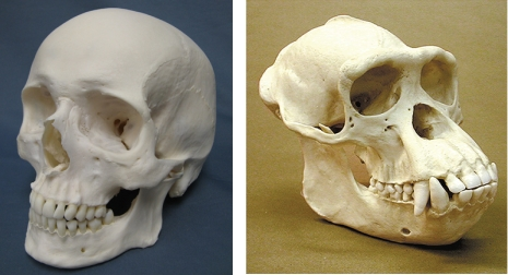 Human and Chimp skulls