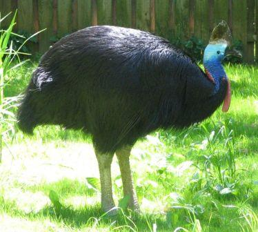 Double Wattled Cassowary