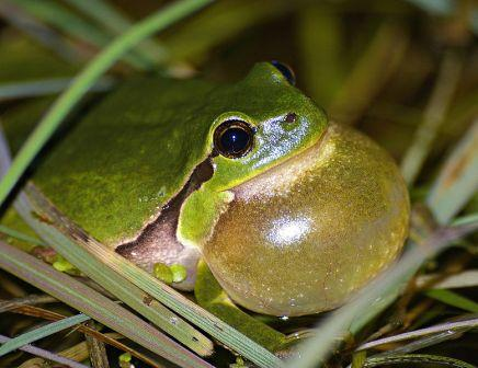 What is the purpose of a frog's eustachian tube?