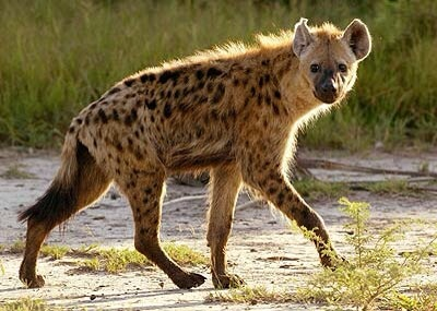 Post image for Spotted Hyaenas have it tough
